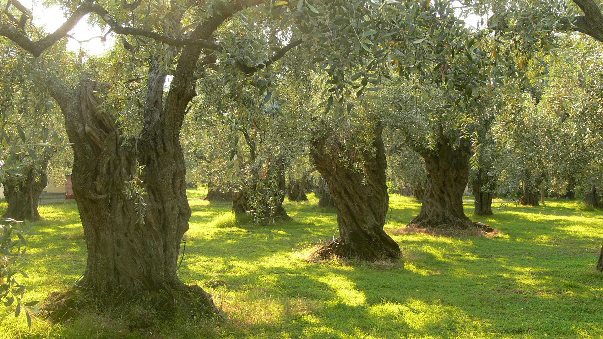 Book of Mormon Lesson 13: The Allegory of the Olive Trees